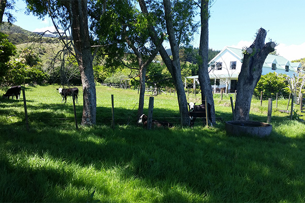 Jacaranda Lodge - Farmstay in the Coromandel - Cows