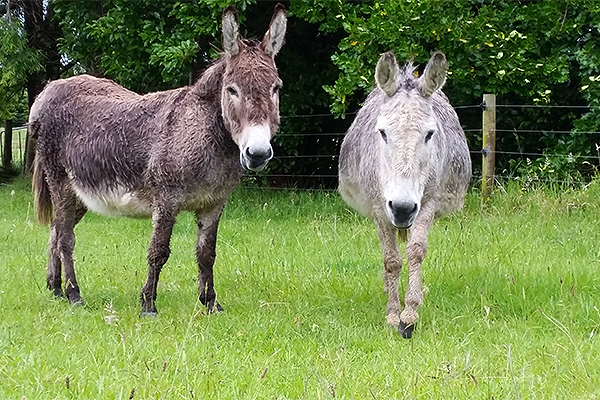 Jacaranda Lodge - Farmstay in the Coromandel - Donkeys
